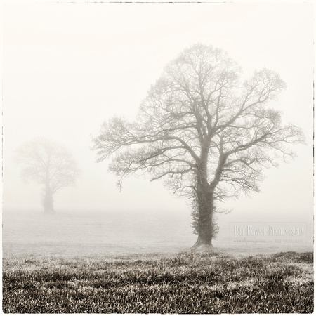 Blackwater Trees in Fog