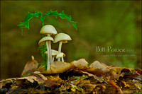 FIPF Fungi B02 Gw Holly and Toadstool