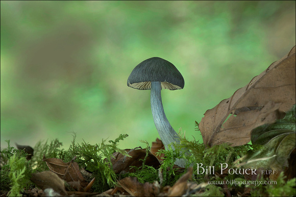 FIPF Fungi T07 Gw Oakleaf and Toadstool